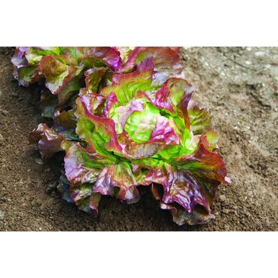 Edox Lettuce ( 50 Days ) - Vegetables