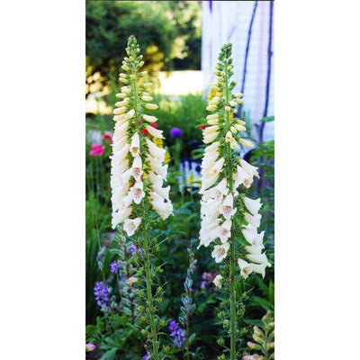 Foxglove - Excelsior Hybrid - Flowers