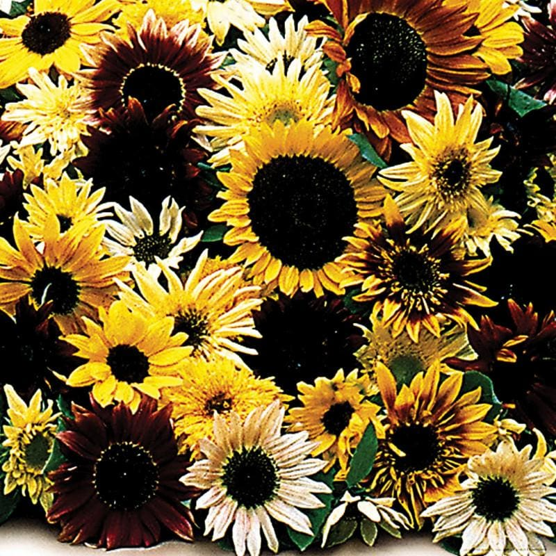 Fantasia Mixture Sunflower