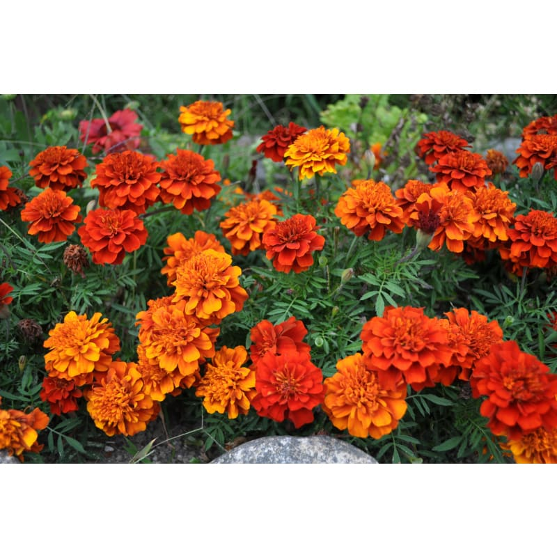 Fireball Marigold - Flowers