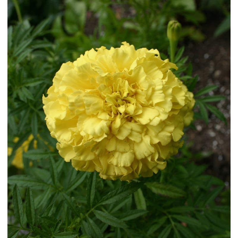 First Lady Marigold - Flowers