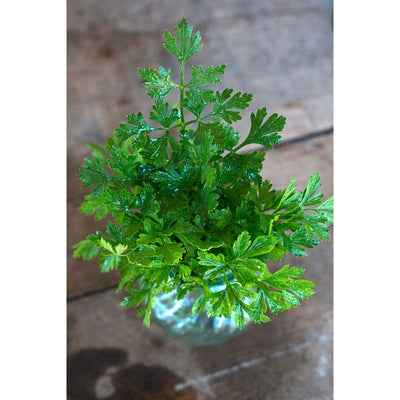 Flat Leaf Parsley - Herbs
