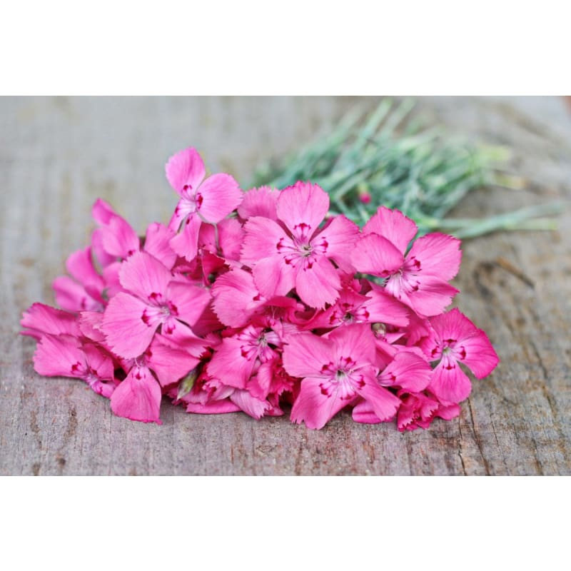 Flavora Rose Shades Dianthus - Flowers