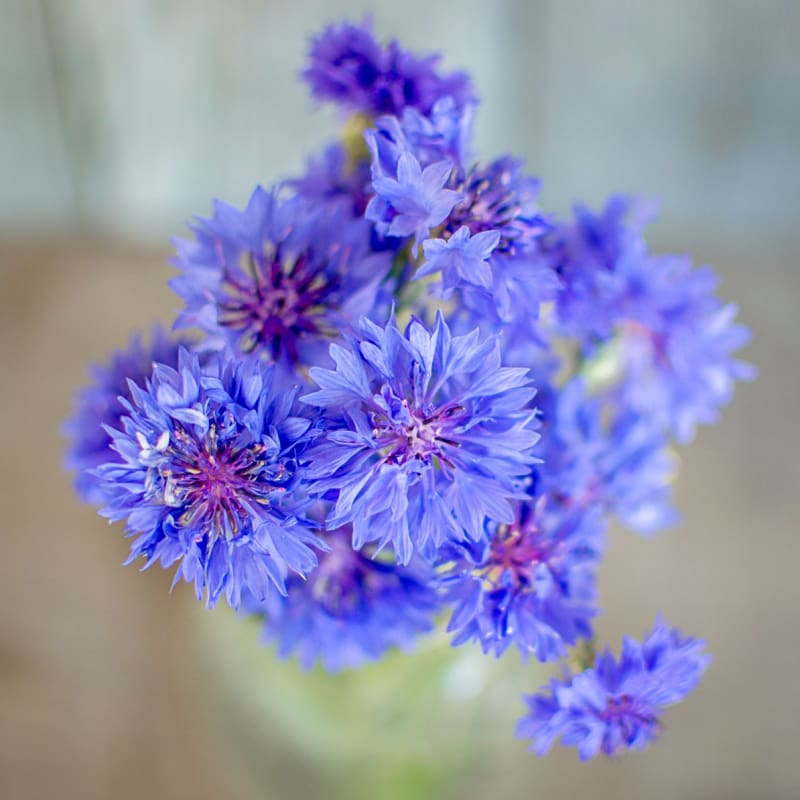 Florist Blue Boy Centaurea - Flowers