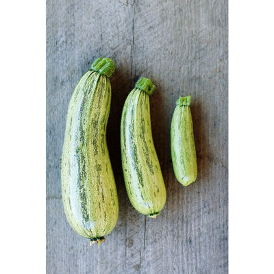 Genovese Summer Squash (55 Days) - Vegetables