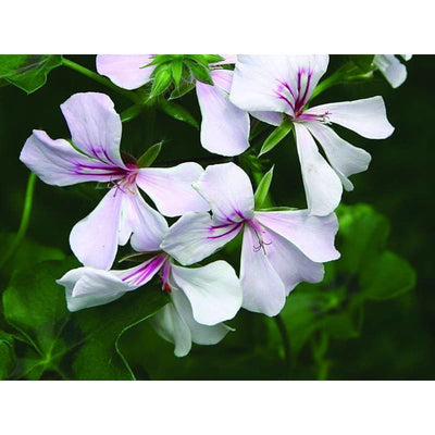 Geranium - Ivy Leafed Summer Showers Mix- Discontinued - Flowers