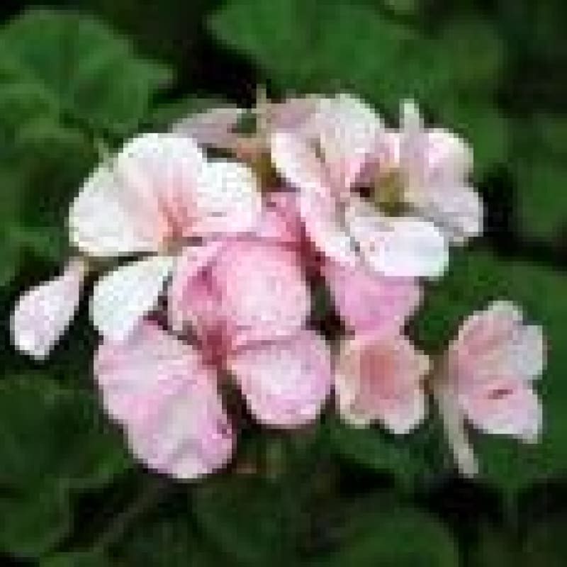 Geranium - Strawberry Ripple ***sold out*** - Flowers
