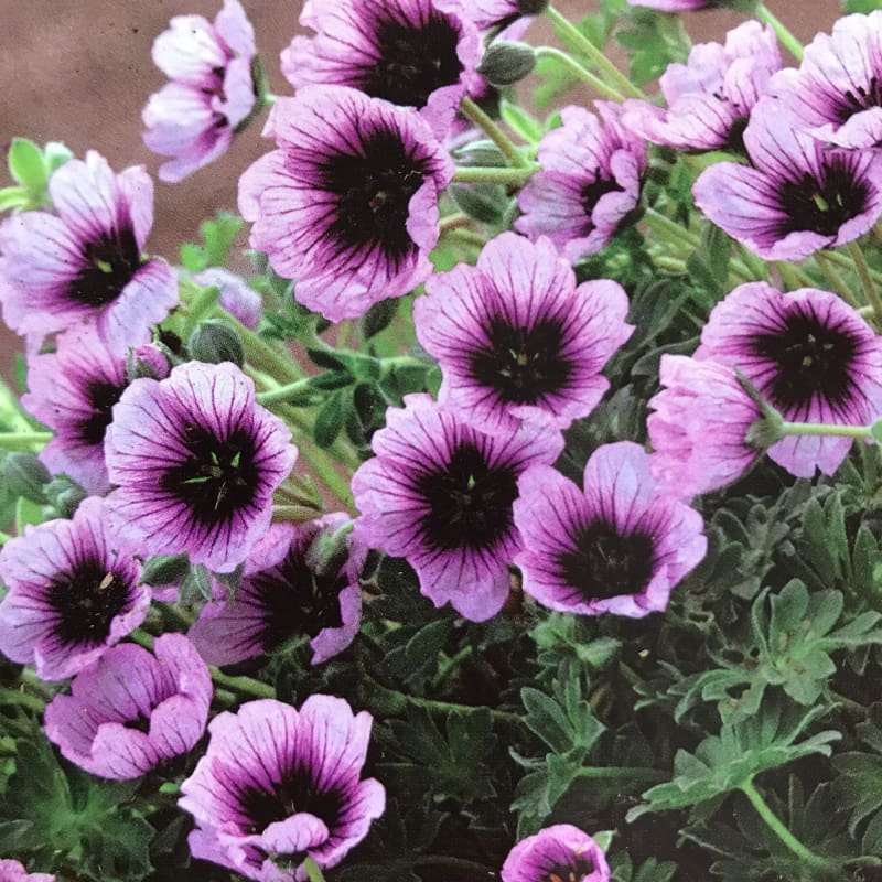 Geranium Thumping Heart-Discontinued - Spring