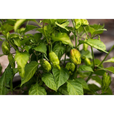 Ghost Pepper - Bhut Jolokia (100-120 Days) - Vegetables