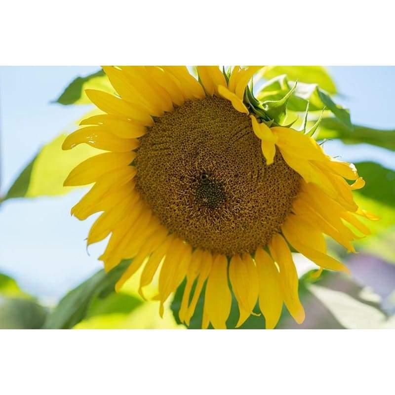 Giant Gray Stripe Sunflower