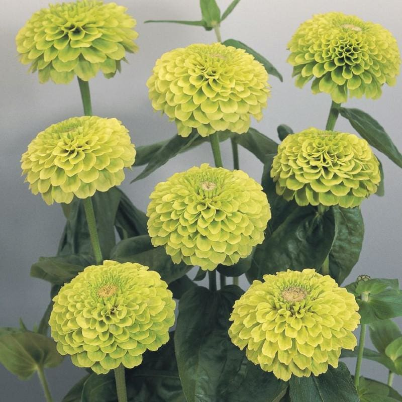Giant Lime Zinnia