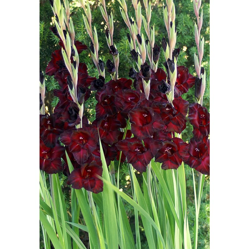 Gladiolus Black Sea - Spring