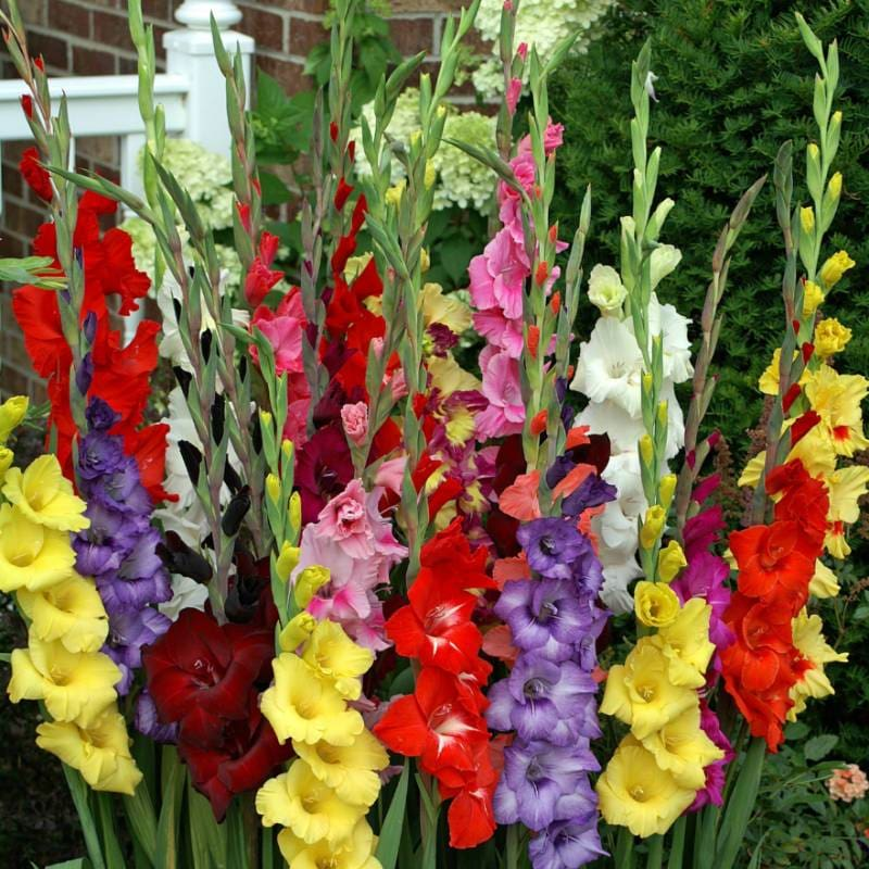 Gladiolus 'Commercial Mixture'