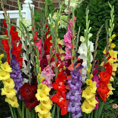 Gladiolus 'Commercial Mixture' - Spring