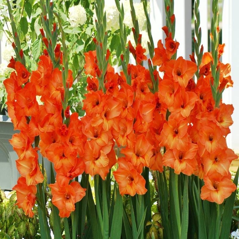 Gladiolus 'Sun Kissed'