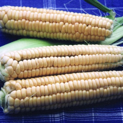 Golden Bantam Corn (Heirloom 78 Days) - Vegetables