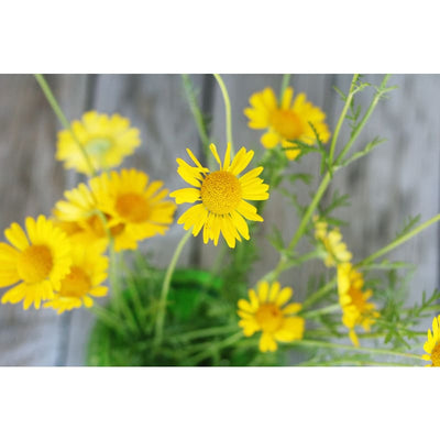 Golden Marguerite - Herbs
