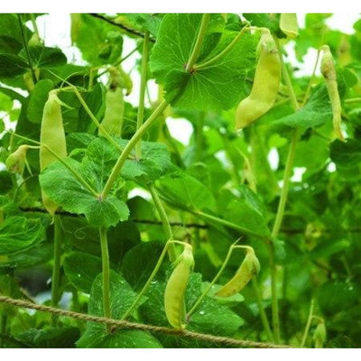 Golden Sweet Snow Pea (Heirloom 67 Days) - Vegetables