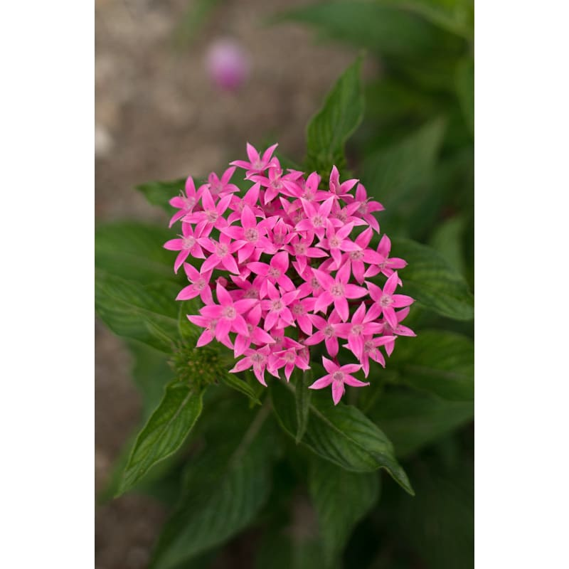 Graffiti Pink Pentas - Flowers