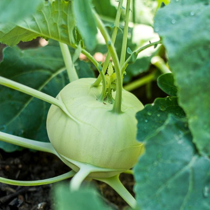 Grand Duke Kohlrabi (F1 Hybrid 50 Days) - Vegetables