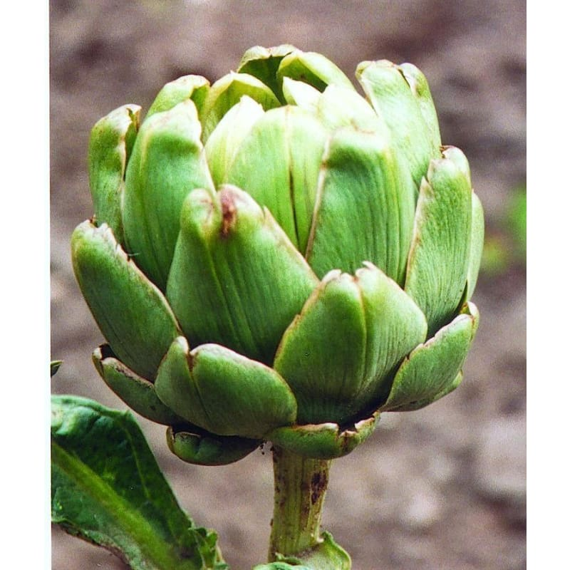 Green Globe Improved Artichoke (Heirloom, 85 Days)