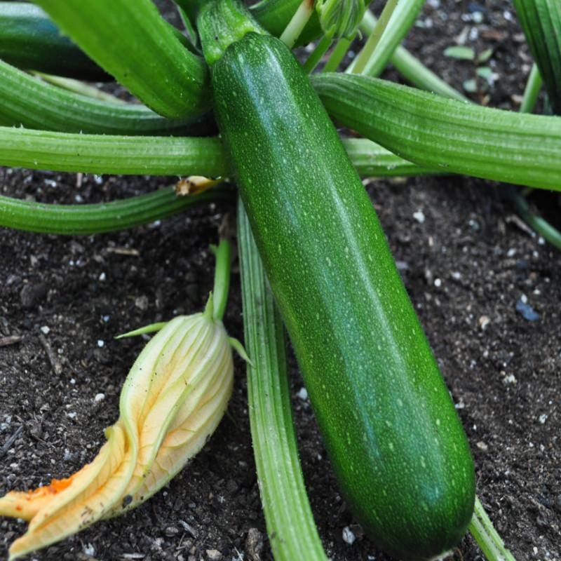 Green Machine Zucchini (Organic F1 Hybrid 45 Days)