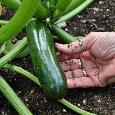 Green Machine Zucchini (Organic F1 Hybrid 45 Days) - Vegetables