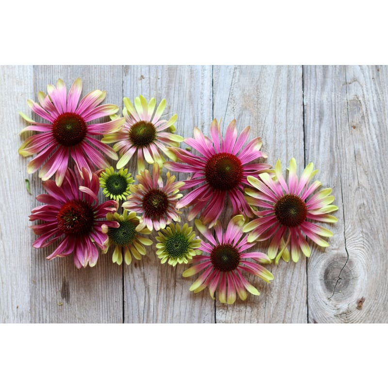 Green Twister Echinacea - Flowers