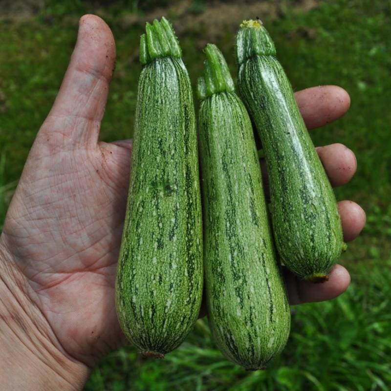 Greyzini Summer Squash (F1 Hybrid 47 Days) - Vegetables