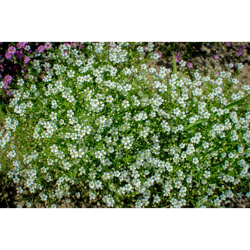 Gypsy White Babys Breath - Flowers