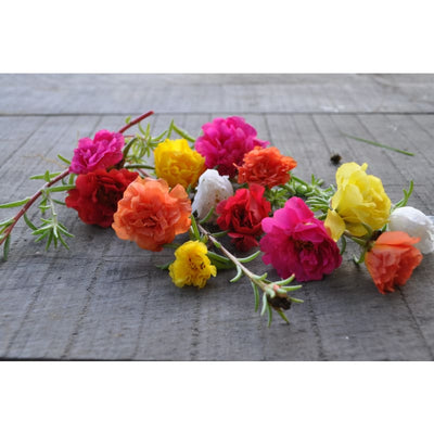Happy Trails Mix Portulaca - Flowers