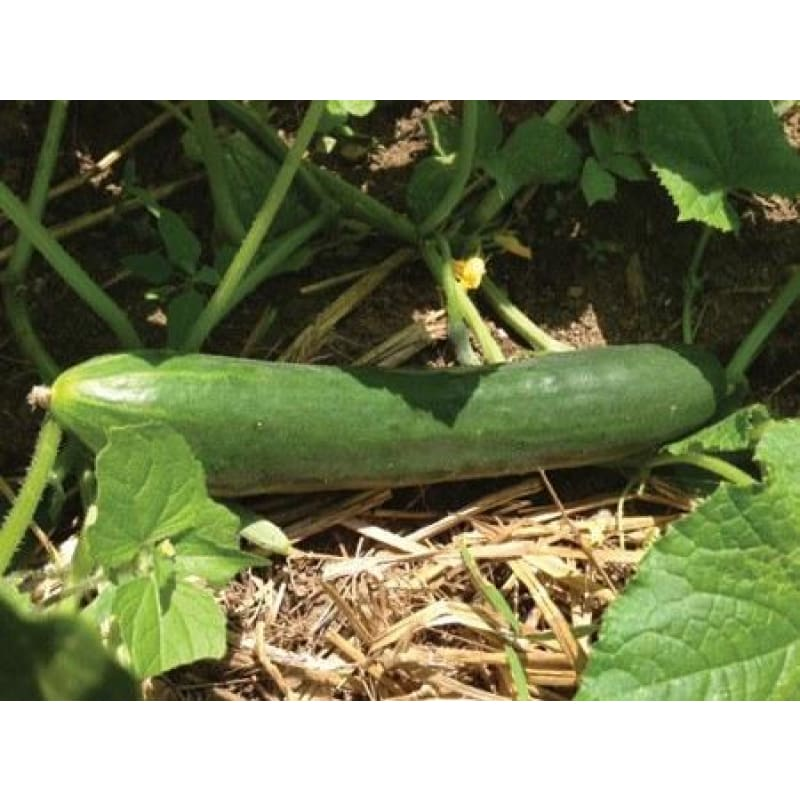 Heike Cucumber (F1 Hybrid 58 Days) - Vegetables