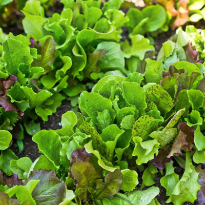 Heirloom Cutting Mix Lettuce - Vegetables