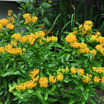 Hello Yellow Milkweed - Flowers
