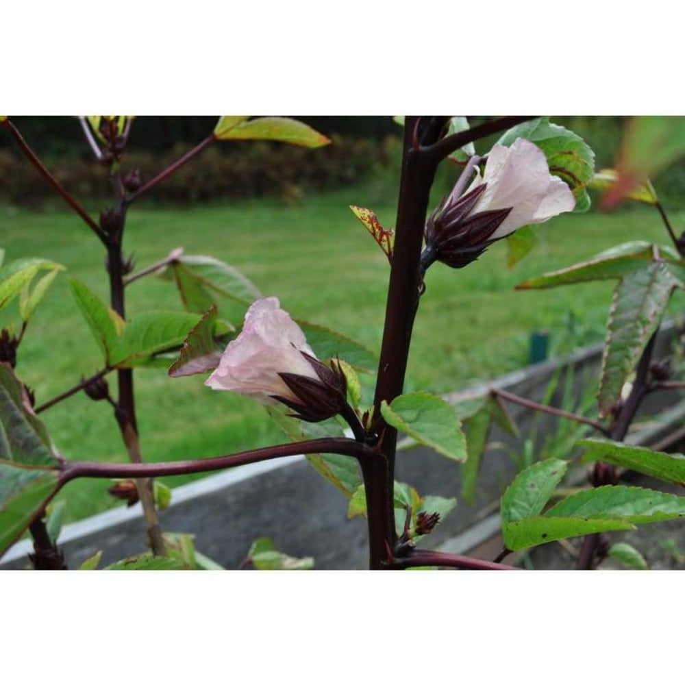 Hibiscus-Roselle (Organic 90-120 Days) - Herbs
