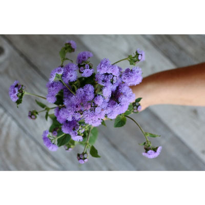 High Tide Blue Ageratum - Flowers