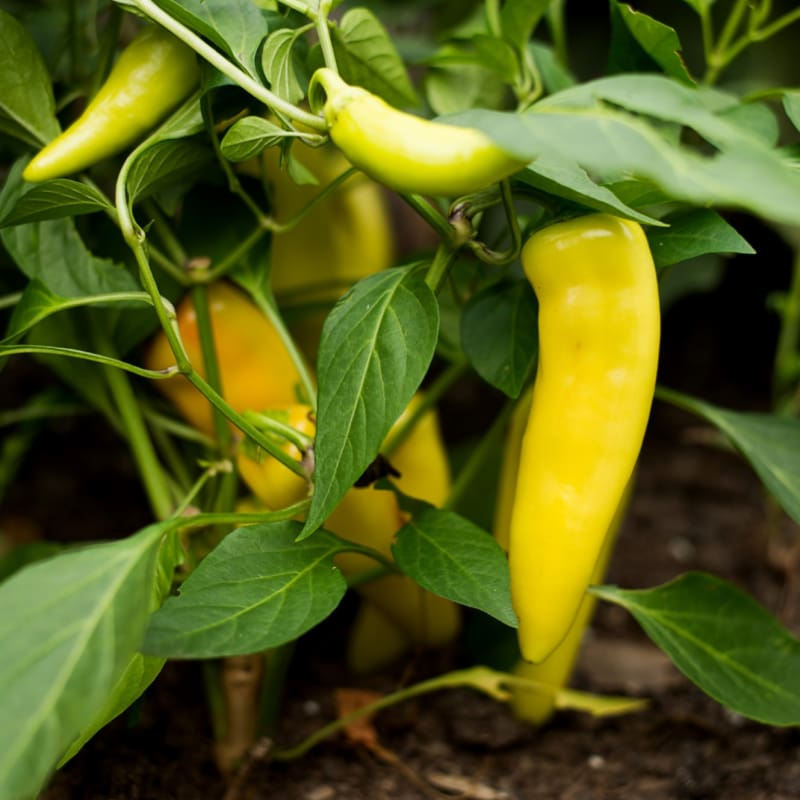 Hungarian Yellow Wax Pepper (65 Days) - Vegetables