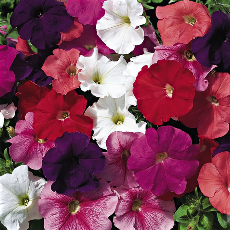 Hurrah Mix Petunia - Flowers