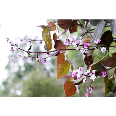 HYACINTH BEAN - RED LEAVED *Unavailable* - Flowers