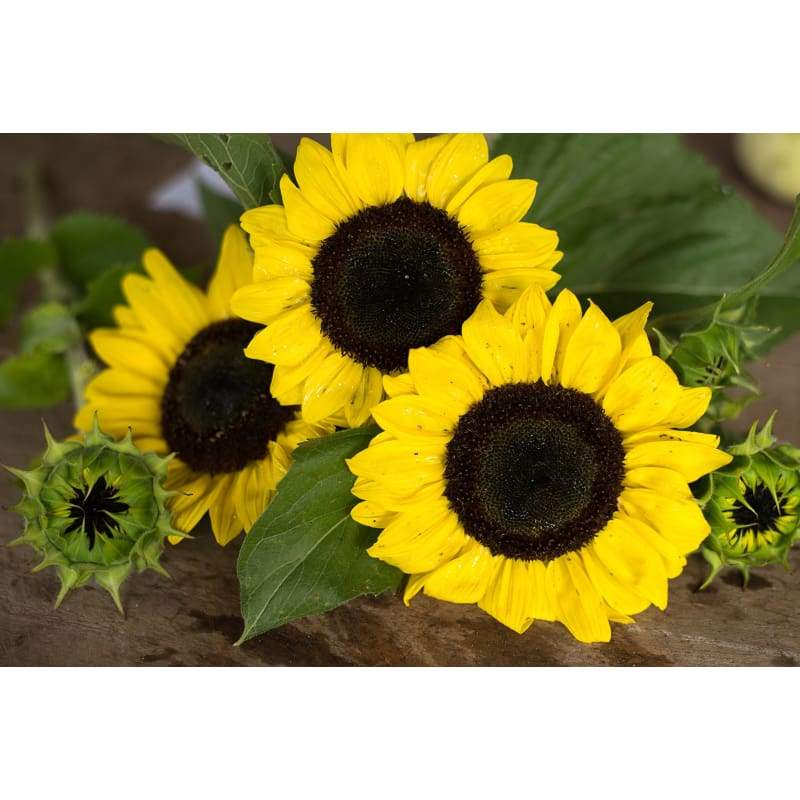 Ikarus Sunflower