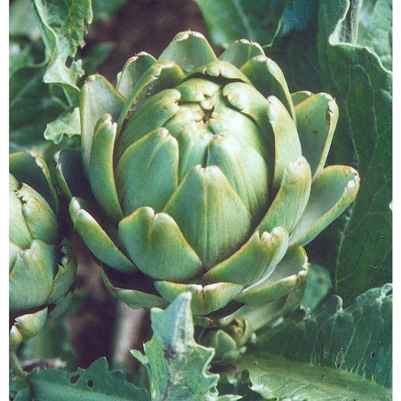Imperial Star Artichoke (90 Days)