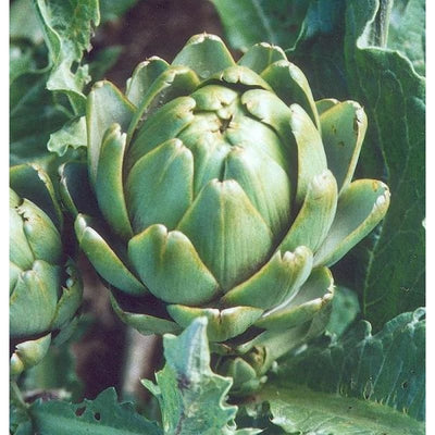 Imperial Star Artichoke (Organic 90 Days) - Vegetables