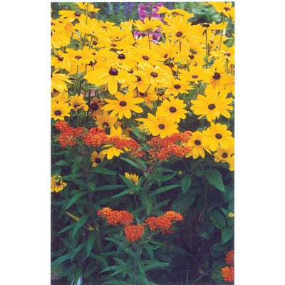 Rudbeckia - Indian Summer - Flowers