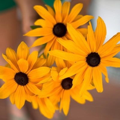 Indian Summer Rudbeckia - Flowers
