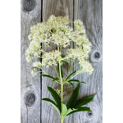 Ivory Towers Eupatorium - Flowers