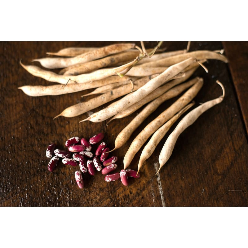 Jacobs Cattle Bush Dried Bean (Heirloom, 83 days)