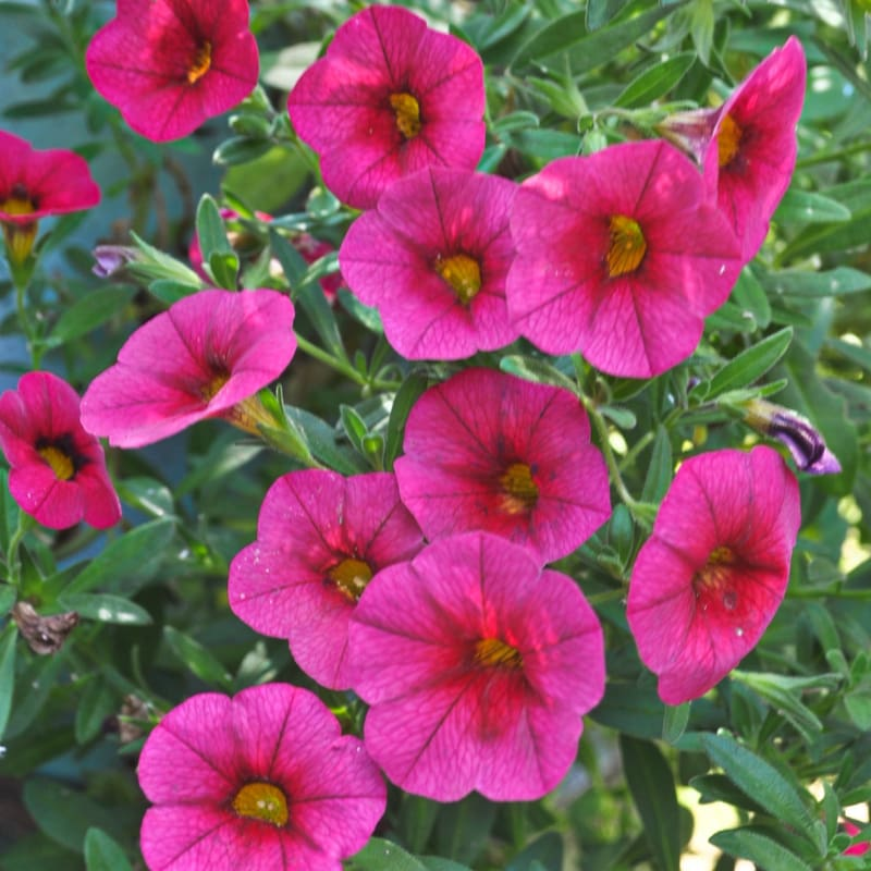 Kabloom Cherry Calibrachoa