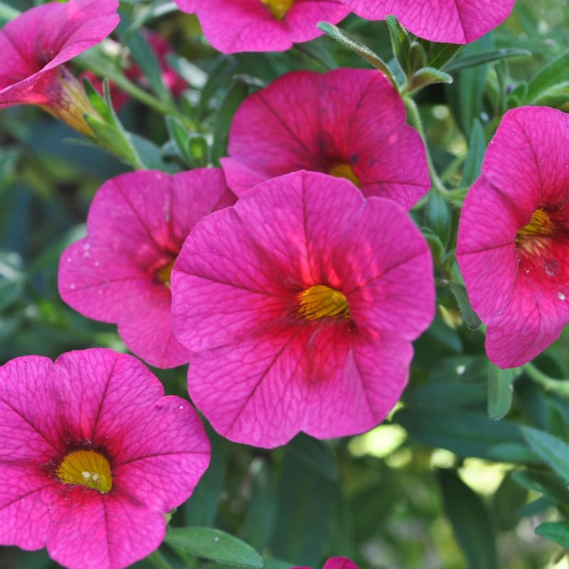 Kabloom Cherry Calibrachoa - Flowers