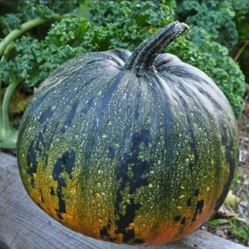 Kakai Hulless Pumpkin (Organic 100 Days) - Vegetables