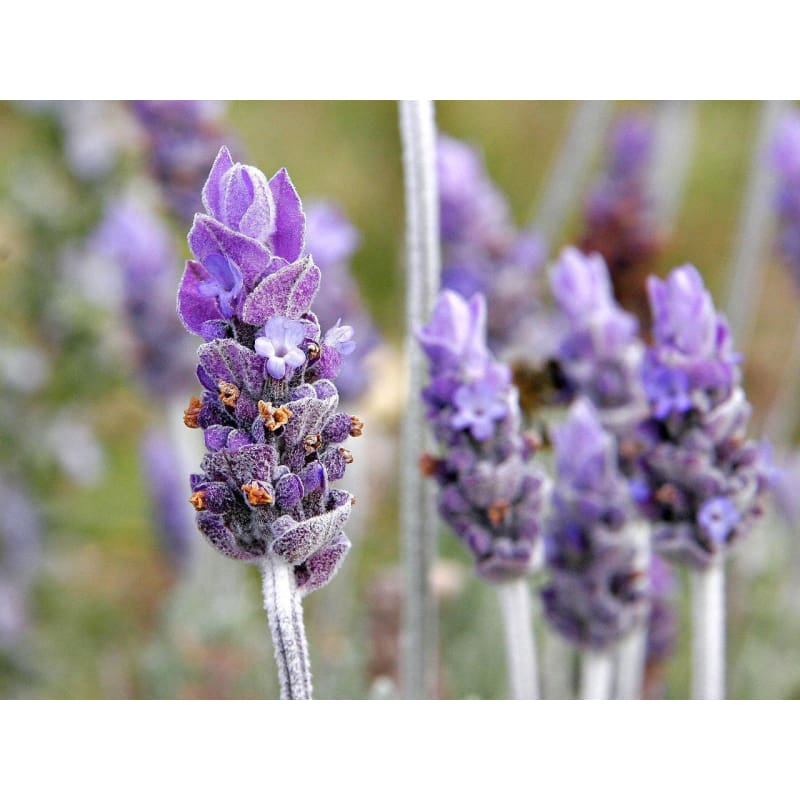 Lavender Essential Oil (15 Ml) - Crafts